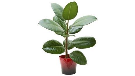 árbol de caucho
