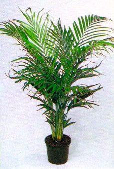 plamera bambu 3